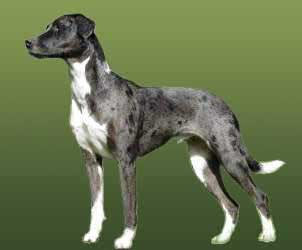 catahoula_leopard_dog