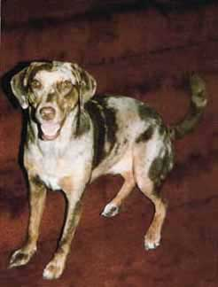 catahoula_leopard_dog1