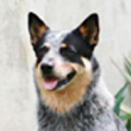 cattle_dog