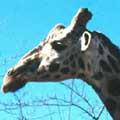 chamada_girafa