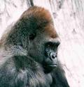 chamada_gorila