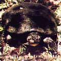 chamada_tartaruga_da_amazonia