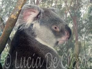 coala9