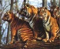 cor_tigre