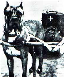 Cane Corso utilizado para transporte de medicamentos e depois soldados feridos na campanha da Rússia Um massaro acompanhado de seu cão