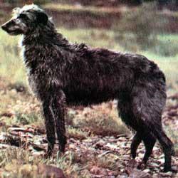 deerhound2