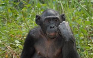 destaque_bonobo