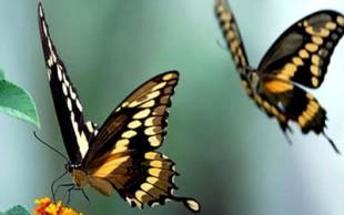 destaque_borboletas