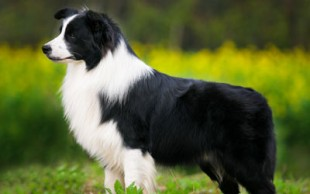 destaque_border_collie