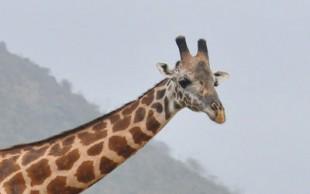 destaque_girafa