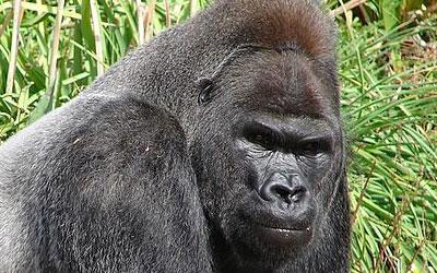 destaque_gorilla