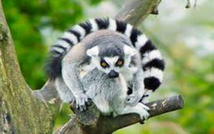 destaque_lemur