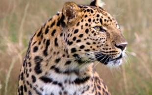 destaque_leopardo