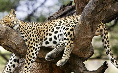 destaque_leopardo_arvore