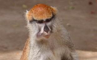 destaque_macaco_vermelho