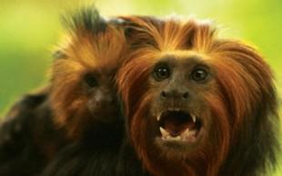 destaque_mico