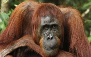 destaque_orangotango