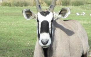 destaque_oryx