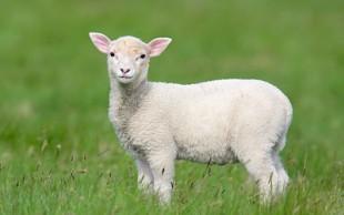 destaque_ovelha