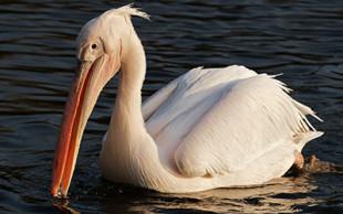 destaque_pelicano_branco