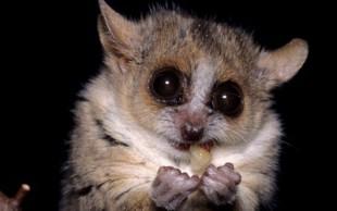 destaque_rato_lemure