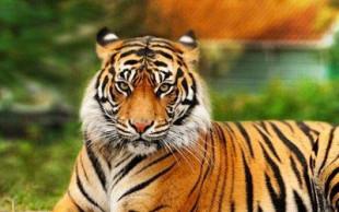 destaque_tigre