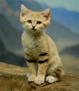 gato_do_deserto