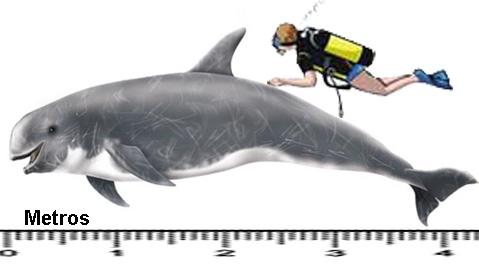 golfinho-de-risso