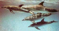 golfinho0001
