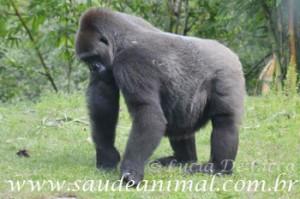 gorila_femea