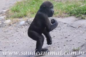 gorila_filhote
