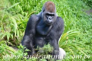 gorila_macho