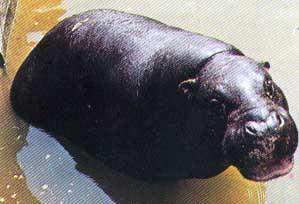 hipopotamo_mini