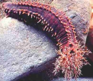 holoturia