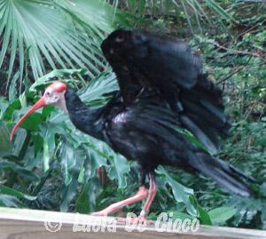 ibis-calvo2