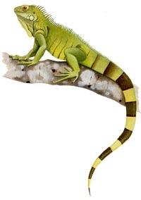 iguana_verde