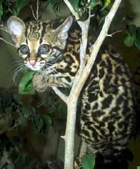 leopardo_asiatico11