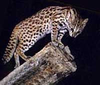leopardo_asiatico13