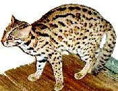 leopardo_asiatico2
