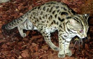 leopardo_asiatico3
