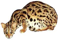 leopardo_asiatico4