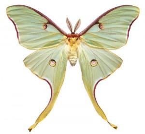 mariposa_luna