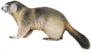 marmota2