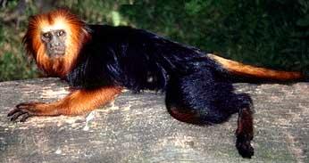 mico_leao_cara_dourada