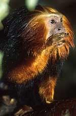 mico_leao_cara_dourada2