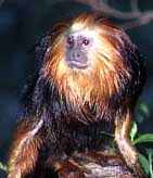 mico_leao_cara_dourada3