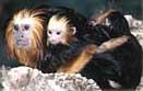 mico_leao_cara_dourada4