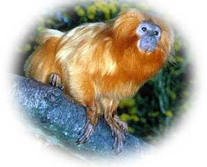 mico_leao_dourado2