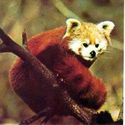 panda_vermelho