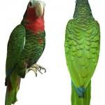 papagaio-cubano
